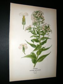 Step 1897 Antique Botanical Print. Rocket